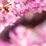 Sakura saat musim semi di Jepang