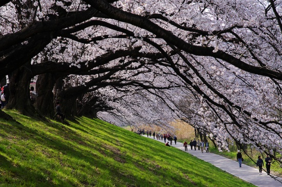 Sakura sepanjang Taman Sewaritei Kyoto