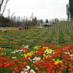 Suasana Kebun Tulip Tonami di Toyama