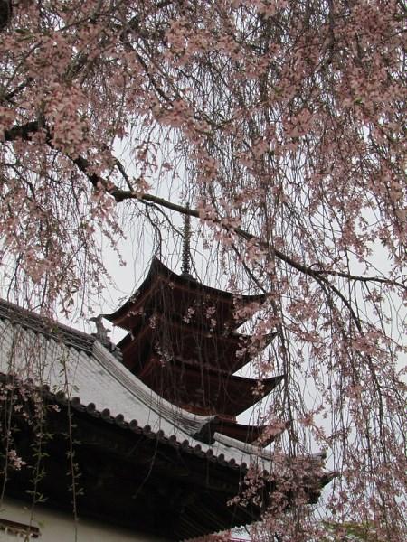 Suasana Miyajima Sakura 2020
