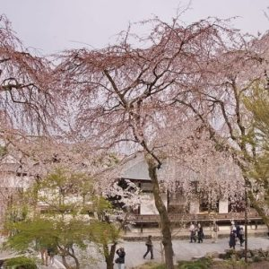Suasana Tenryuji Temple Sakura 2020