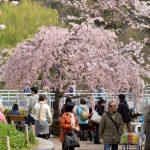 Suasana hanami muka sakura di Inokashira Park