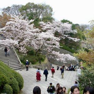 Suasana hanami sakura di Maruyama Koen Kyoto