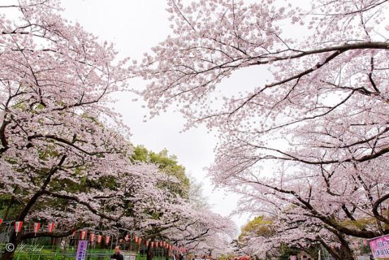 Suasana hanami sakura di Taman Ueno Tokyo