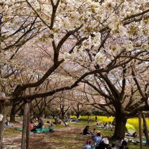Suasana sakura waktu Showa Memorial Park Sakura 2020