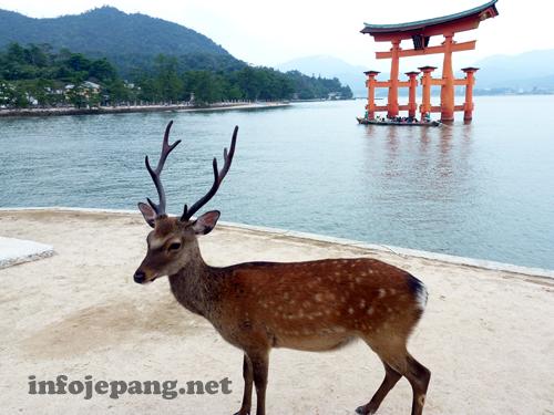 Rusa dengan latar belakang Torii Agung Miyajima