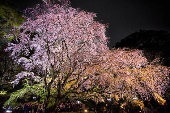 Yozakura di Taman Rikugien Tokyo
