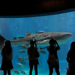 ikan hiu paus di kaiyukan