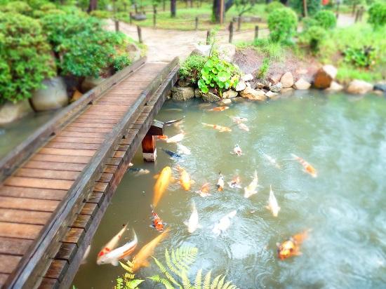 ikan-ikan di kolam taman shukkeien