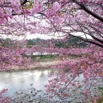 indahnya bunga sakura di kawazu
