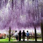 indahnya taman wisteria kawachi fujien