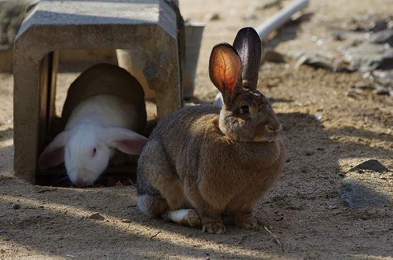 menyentuh kelinci gendut di oji zoo